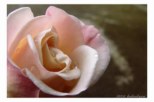 Delicate Rose 1 by kedralynn