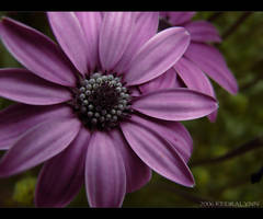 Spring Flower 1 by kedralynn
