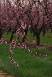 Sakura Awakens Anew by kedralynn