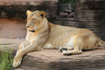 African Lion Stock Photo 21 by lightningspamstock