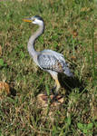 Gourd Great Blue Heron by ART-fromthe-HEART