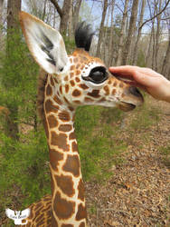 Amahle the Masai Giraffe - pet pets by ART-fromthe-HEART