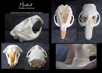 Skull Stock: Muskrat by Krissyfawx