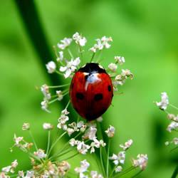 Ladybird by penguin91