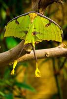 Luna Moth by raiyneofgailin