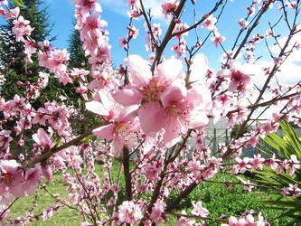 Peach Flowers by skizo