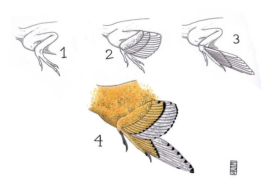 bird wings anatomy - 736×520