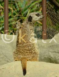 Meerkat by tiger-kat