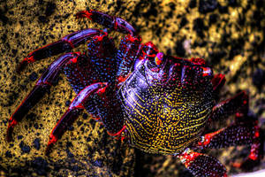 Azores crab by fkefctry