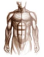 Anatomy Torsoe Study by malara-art