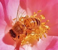 AACC Honey Bee Macro 2016 by Matthew-Beziat