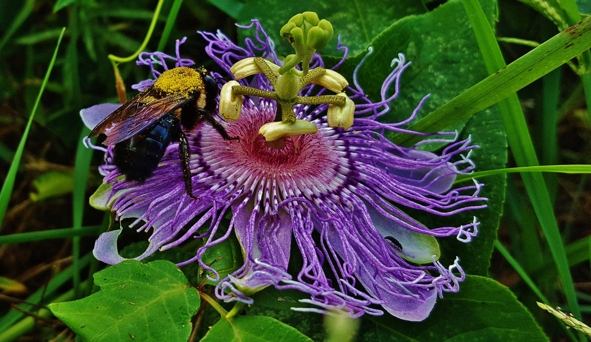 Passionflower With Carpenter Bee by Matthew-Beziat