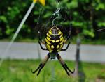 Yellow Garden Spider by Matthew-Beziat