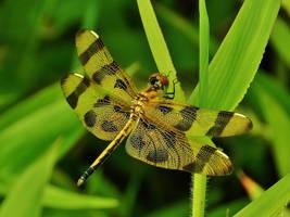 Halloween Pennant Dragonfly by Matthew-Beziat