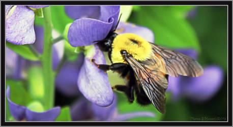 bumblebee and wild indigo by TSHansen