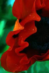 Poppy by TSHansen