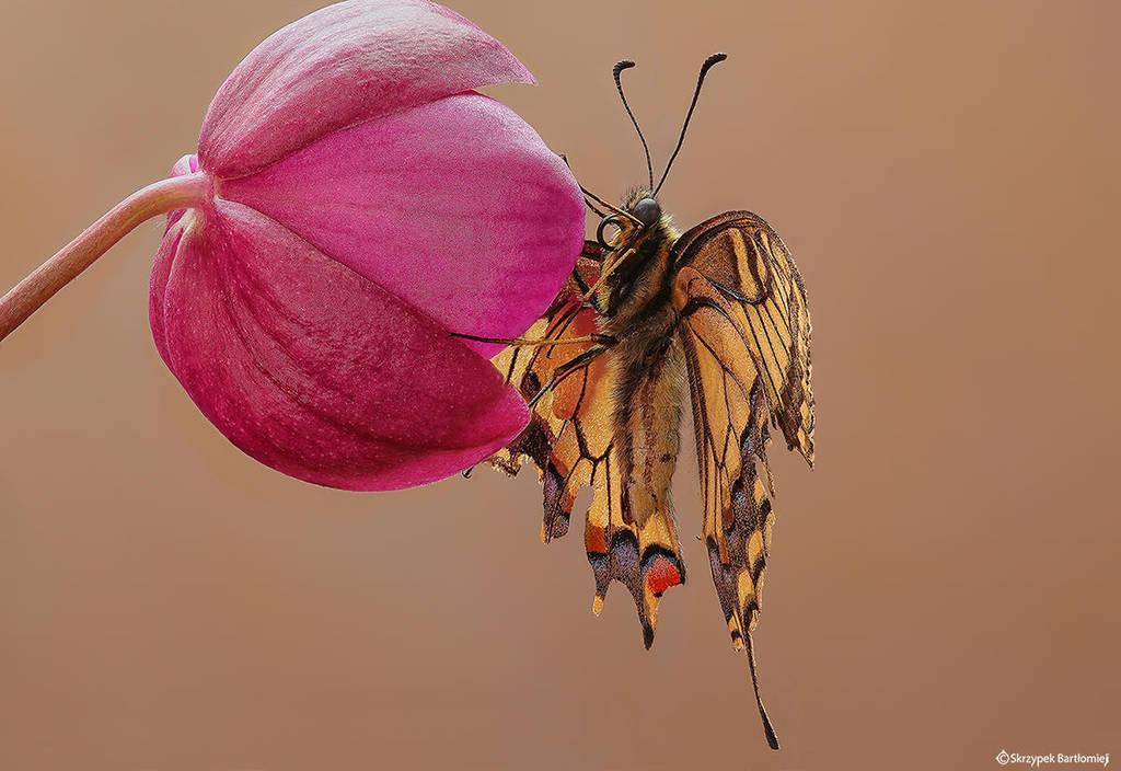 Papilio machaon by SBartek