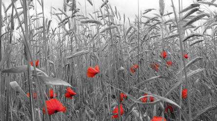 poppies by Olalka