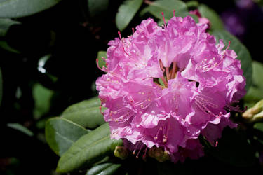 rhododendron I by Jyyx