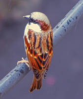 Sparrow by DebasishPhotos