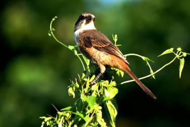 Brown Shrike by DebasishPhotos