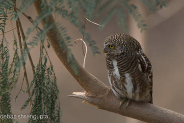 Asian Barred Owlet (Glaucidium cuculoides) by DebasishPhotos