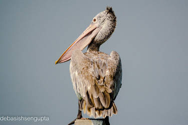 Spot-billed Pelican by DebasishPhotos