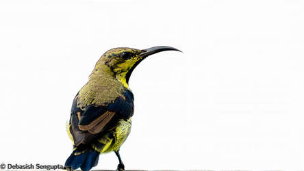 Purple Sunbird (Eclipse plumage) by DebasishPhotos