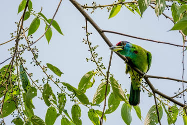 Blue-throated Barbet (Psilopogon asiaticus) by DebasishPhotos