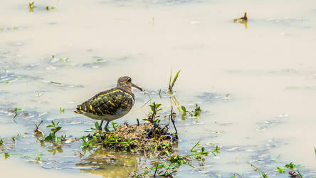 Greater Painted Snipe (male) by DebasishPhotos