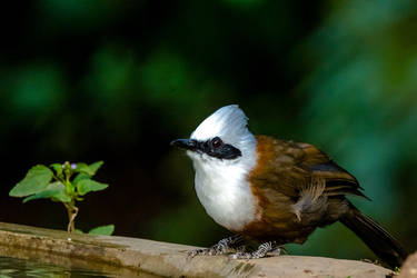 White-crested Laughingthrush by DebasishPhotos