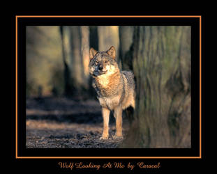 Wolf looking at me by caracal