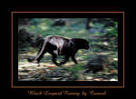 Black Leopard Runing by caracal