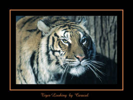 Tiger Looking by caracal