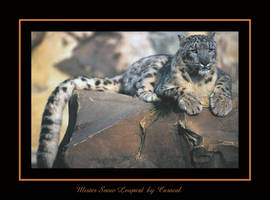 Mister Snow Leopard by caracal