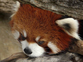 Red Panda Portrait by papatheo