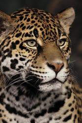 Jaguar Portrait by papatheo