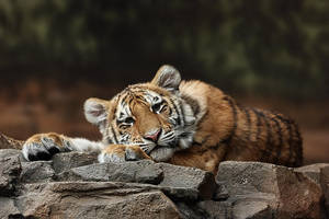 Amur Tiger Twin by papatheo