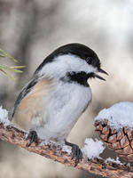 Black Capped-chickadee and Snow by papatheo