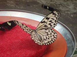 Butterfly Five by itsayskeds