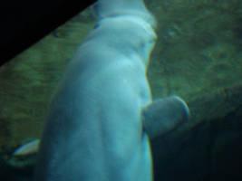 Beluga Whale by itsayskeds