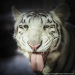 White tigress smile by Wild-Lweek