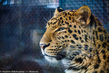 North China Leopard 20140217-0081 by Wild-Lweek