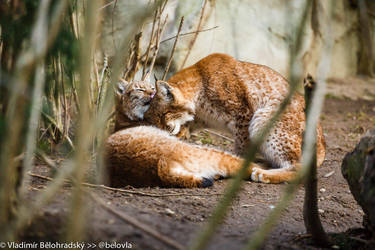 Lynxes in love 20140217 0250 by Wild-Lweek