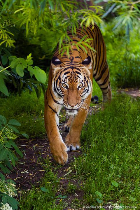 Sumatran Tigress by Wild-Lweek