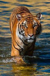 Tiger walking in water by Wild-Lweek
