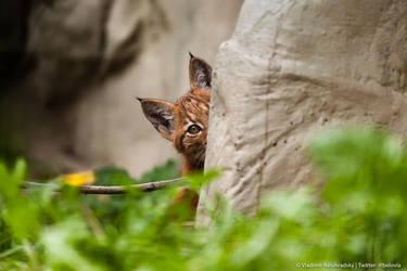 Lynx cub peeking by Wild-Lweek