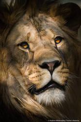 Lion portrait by Wild-Lweek