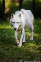 Arctic wolf by Wild-Lweek