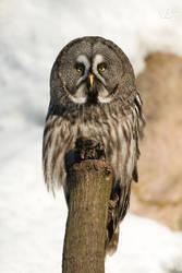 Great Gray Owl by Wild-Lweek
